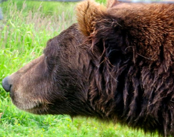 One wet Alaskan Brown Bear, up close.