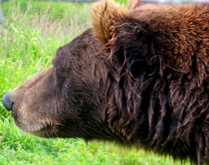 One wet Alaskan Brown Bear, up close.