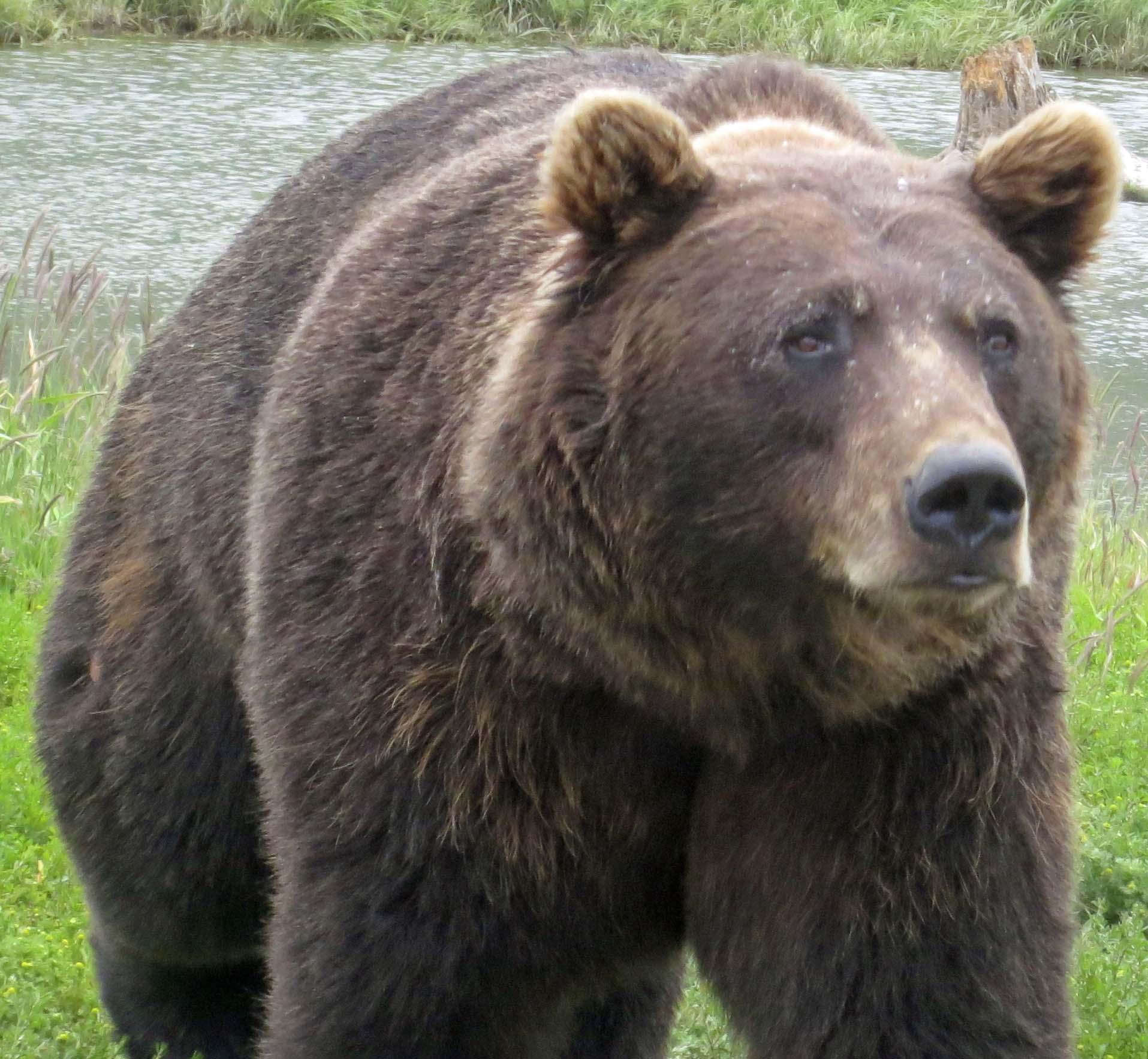 Encountering BIG Brown Bears and other Alaskan Wildlife ...