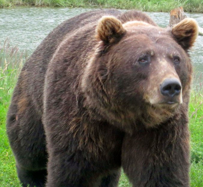 I met my first Brown Bear in Katmai National Park, which is at the beginning of the Aleutian Peninsula. He was coming along a trail I was walking down. He and I had a discussion and then I slowly backed away. Never run from a bear.