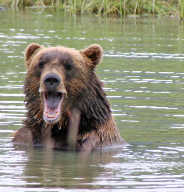Alaska Brown Bear growling.