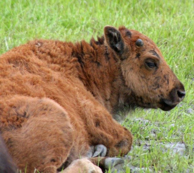 Wood Buffalo calf in Alaska.
