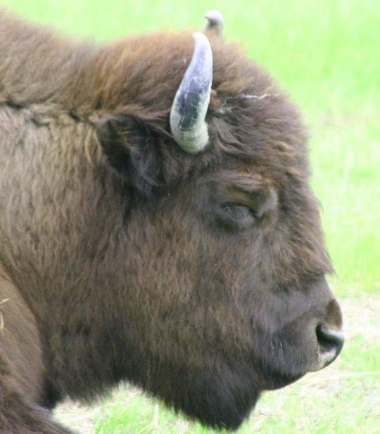 Wood Buffalo being reintroduced to Alaska.