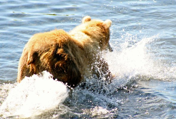 Kodiak Bear pounces on Salmon in Frazer River.