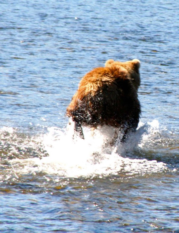 Kodiak chasing fish on Frazer River.