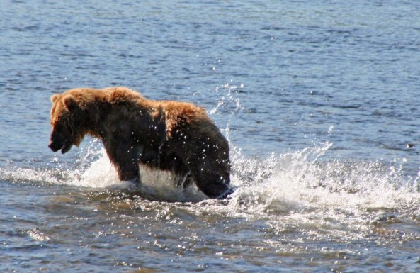 Kodiak bear chasing salmon in the Frazer River.