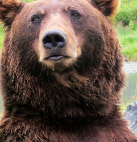 Head shot of Alaska Brown Bear.