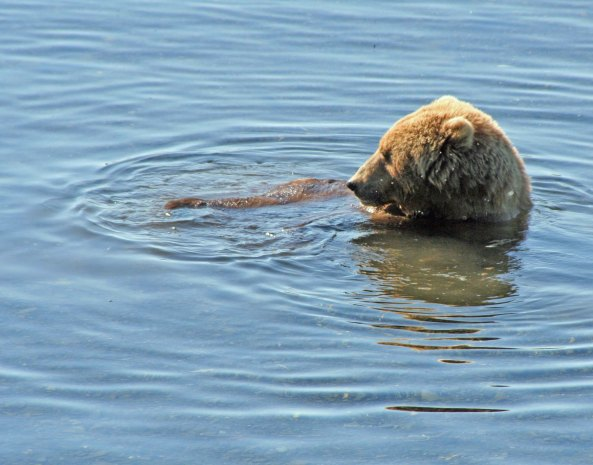 Kodiak Bear cools off in the Frazer River.