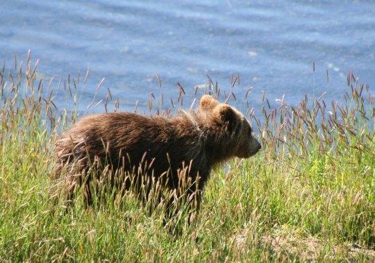 Kodiak Cub next to  Frazer River  on Kodiak Island.