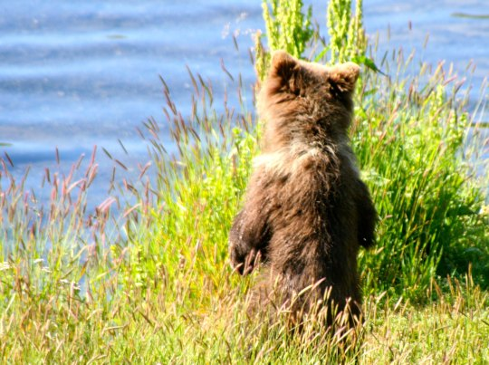 Kodiak cub stands on hind feet searching for mom fishing in the Frazer River on Kodiak Island.