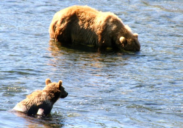 Kodiak cub watches its mother fish in the Frazer River on Kodiak Island.