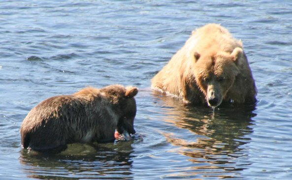 Having caught a fish, Mom shares it with her cub.