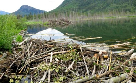 Beaver dam on Toad River in northern BC