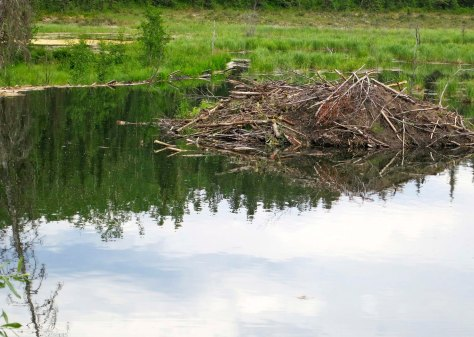 Beaver lodge on the Toad River in British Columbia.