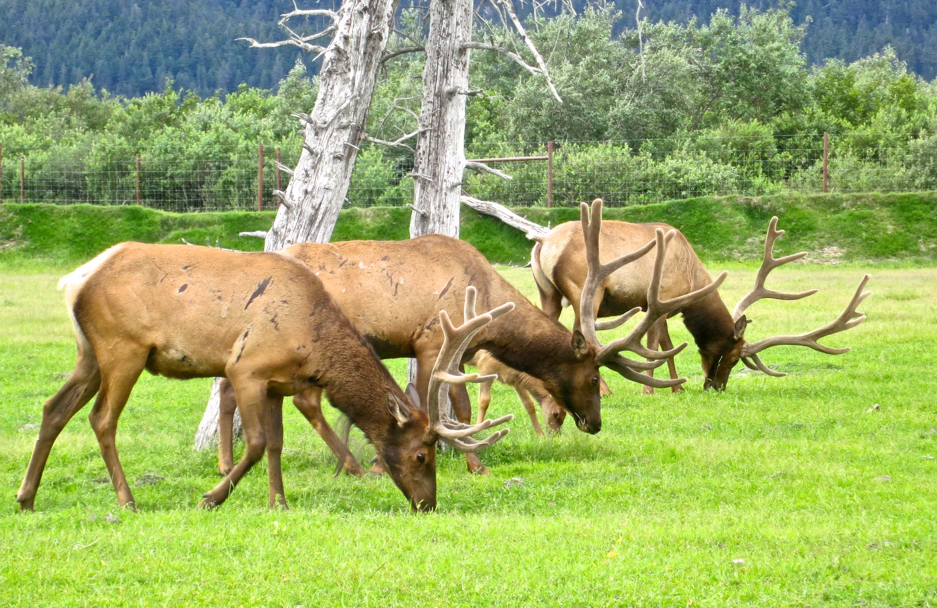 Elk Boys on Ox Rear Ends