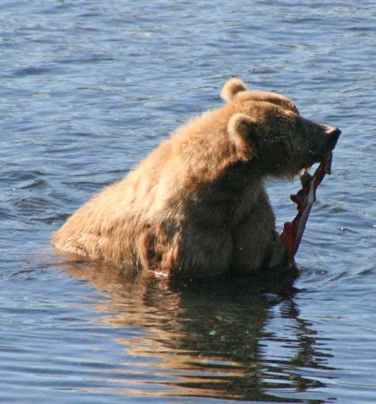 Kodiak Bear eat salmon.