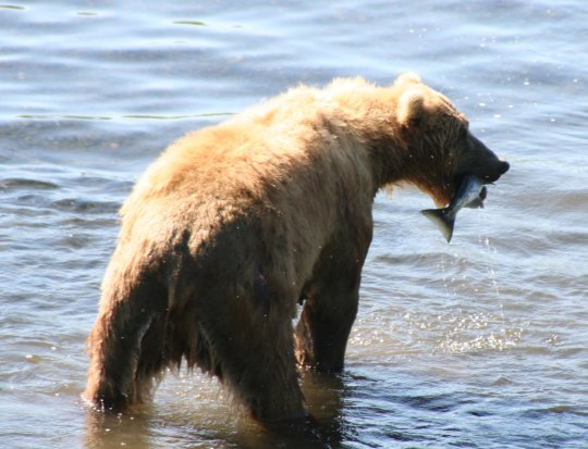 Kodiak Bear with salmon dinner on the Frazer River.