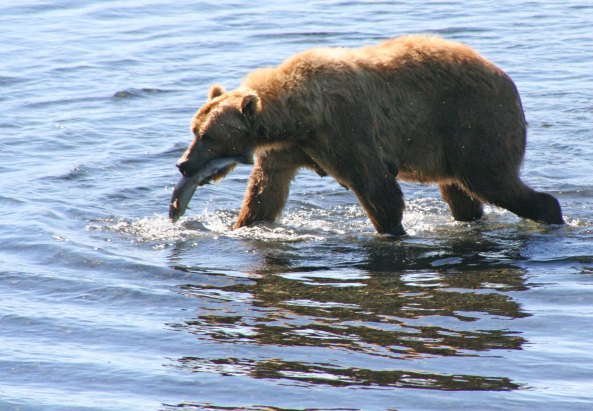Kodiak Bear and salmon in Frazer River.