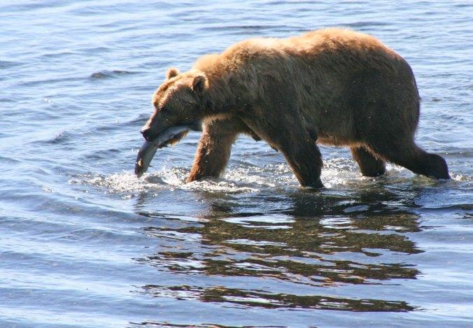 Kodiak Bear and salmon in Frazer River.