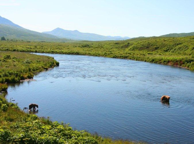 Kodiak Bears in the Frazer River on Kodiak Island.