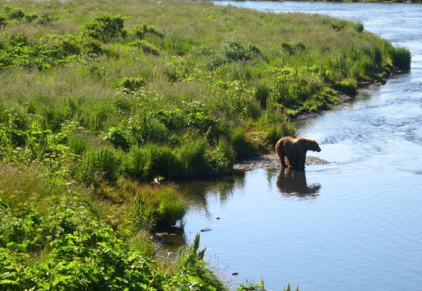 A Kodiak Bear prepares to go fishing on the Frazer River.