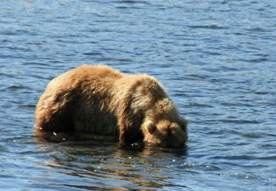 Kodiak Bear fishing in the Frazer River on Kodiak Island, Alaska