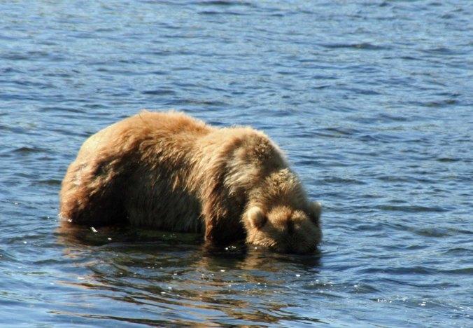 Kodiak Bear fishing in the Frazer River on Kodiak Island, Alaska