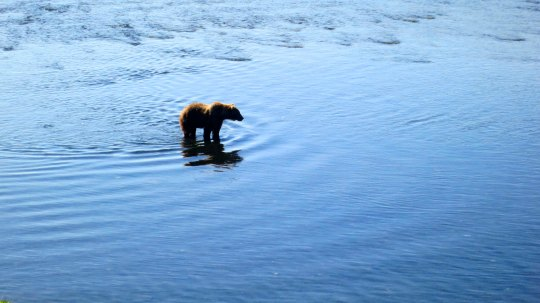 I'll conclude with this photo of a solitary bear fishing the Frazer River.