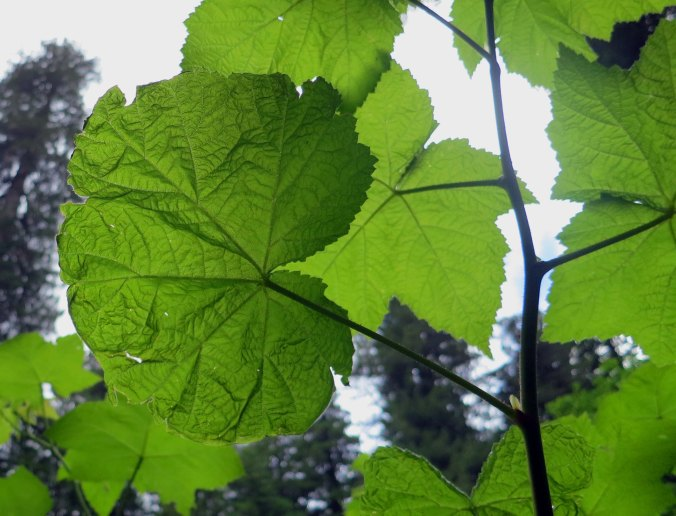Leaves at Redwoods National Park.