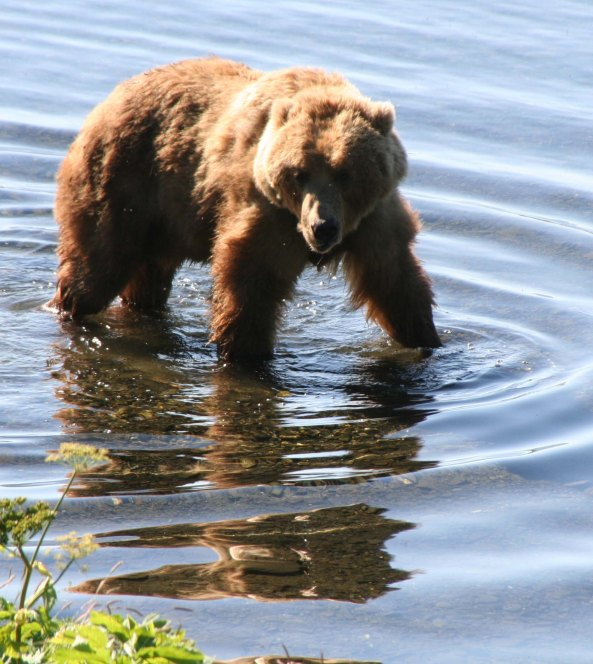 """Now where did I leave that fish?"" A big Kodiak Bear looks for salmon on the Frazer River of Kodiak Island."