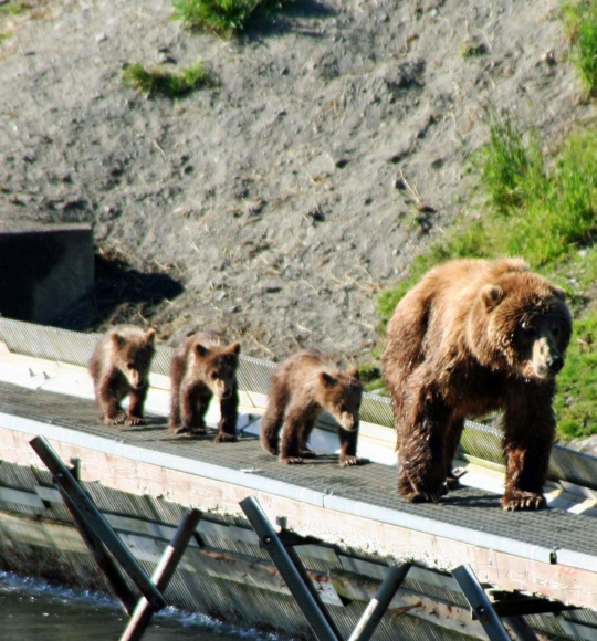 I liked this shot of mom and her parade. She had just chased off a male Kodiak Bear.