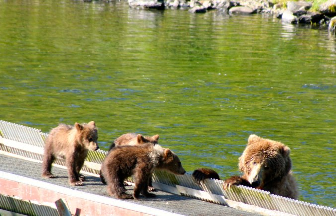 A mother Kodiak Bear checks on the welfare of her three cubs. The cubs were waiting for mom on a fish pass that led the salmon to the fish ladder.