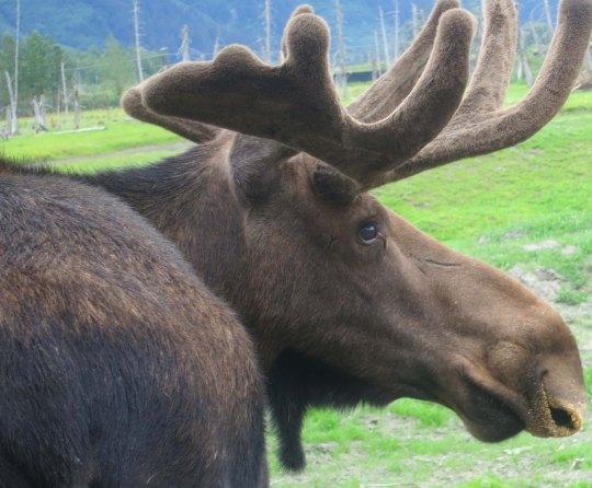 Alaskan moose.