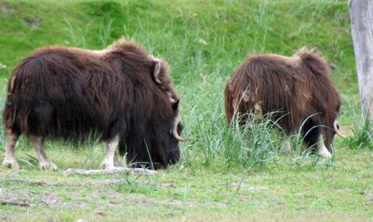 Alaskan Musk Ox