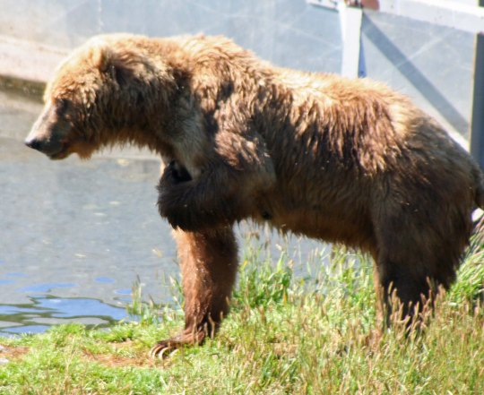 Kodiak Bear salutes... or possibly scratches an itch.