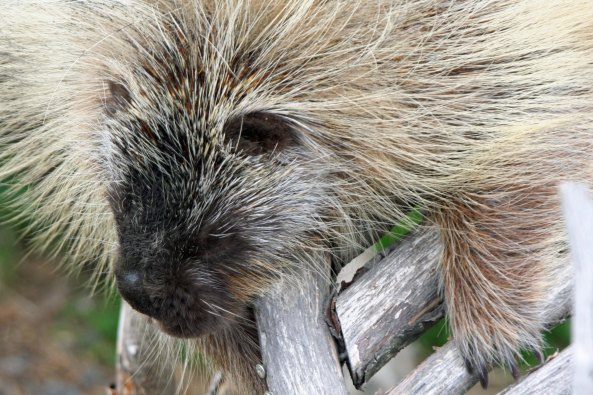 An Alaskan Porcupine. The soft-looking fur is actually quills that the porcupine is more than ready to share. They are painful and extremely hard to remove.