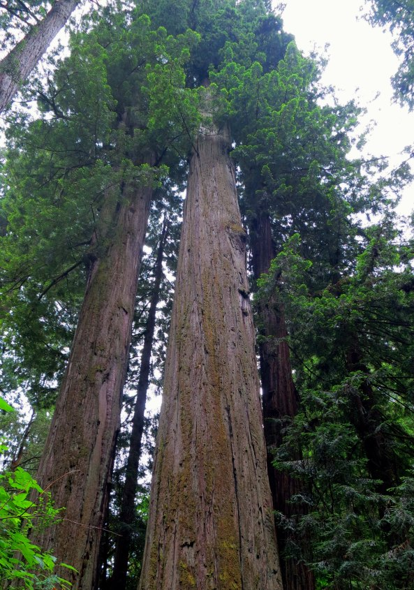 A pair of giant trees in Redwoods National Park.