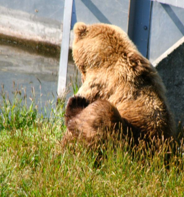 I also enjoyed this Kodiak Bear sitting in the grass and watching the action in the river.