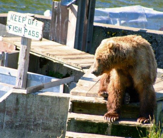 Kodiak Bear on the Frazer River Fish Pass.