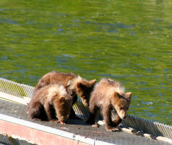 Here the three cubs are waiting patiently while mom fishes. They will lose their white collar in their second year.