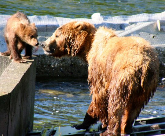 A different Kodiak Bear mom touches noses with her cub. (Photo by Peggy Mekemson.)