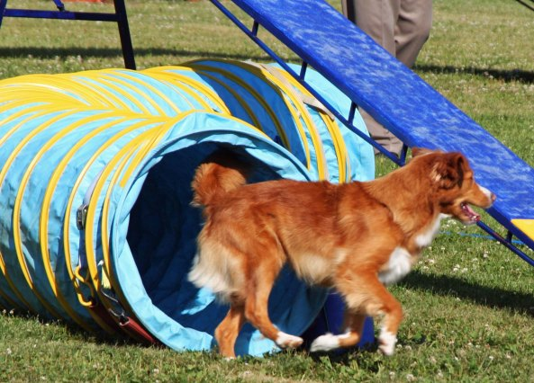 Dog agility trials at Quesnel, BC.
