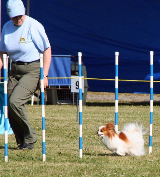 Dog agility trials at Quesnel, BC