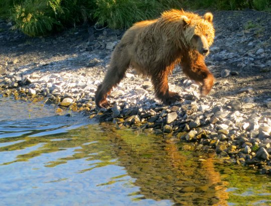 The Kodiak Bear, a young male, made his way toward our plane. He was more interested in fish than he was us, but we stayed on the plane until he left.