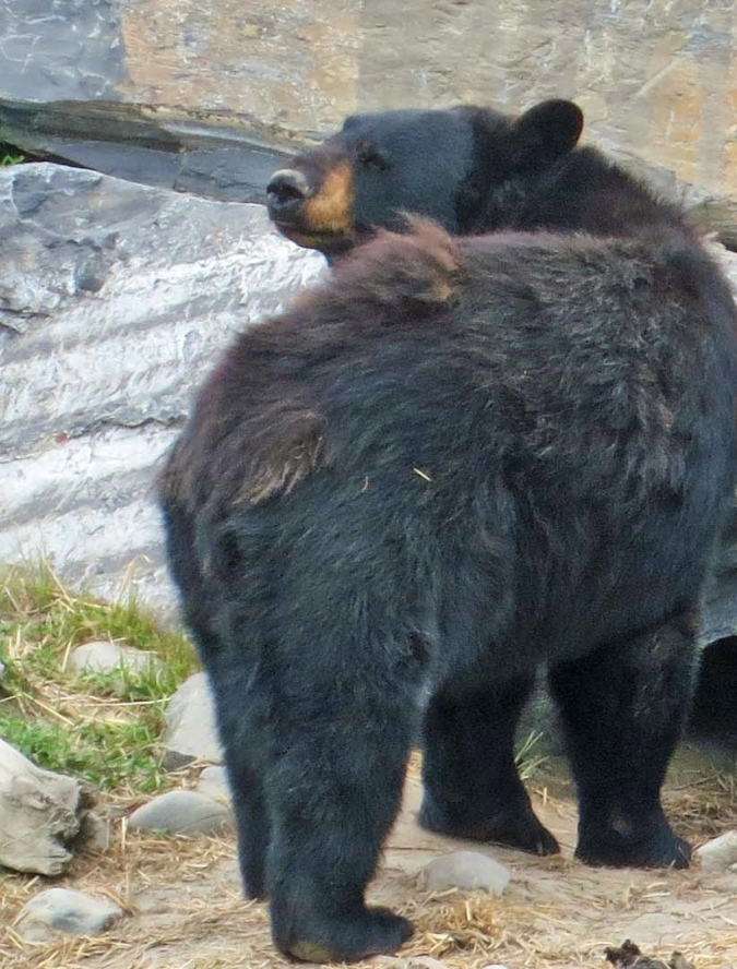 I took this photo of an Alaska Black Bear last week at the Alaska Wildlife Conservation Center. When I was leading backpack trips in Alaska in the 80s, a black bear bit through a sleeping bag into a forrest service ranger's leg.
