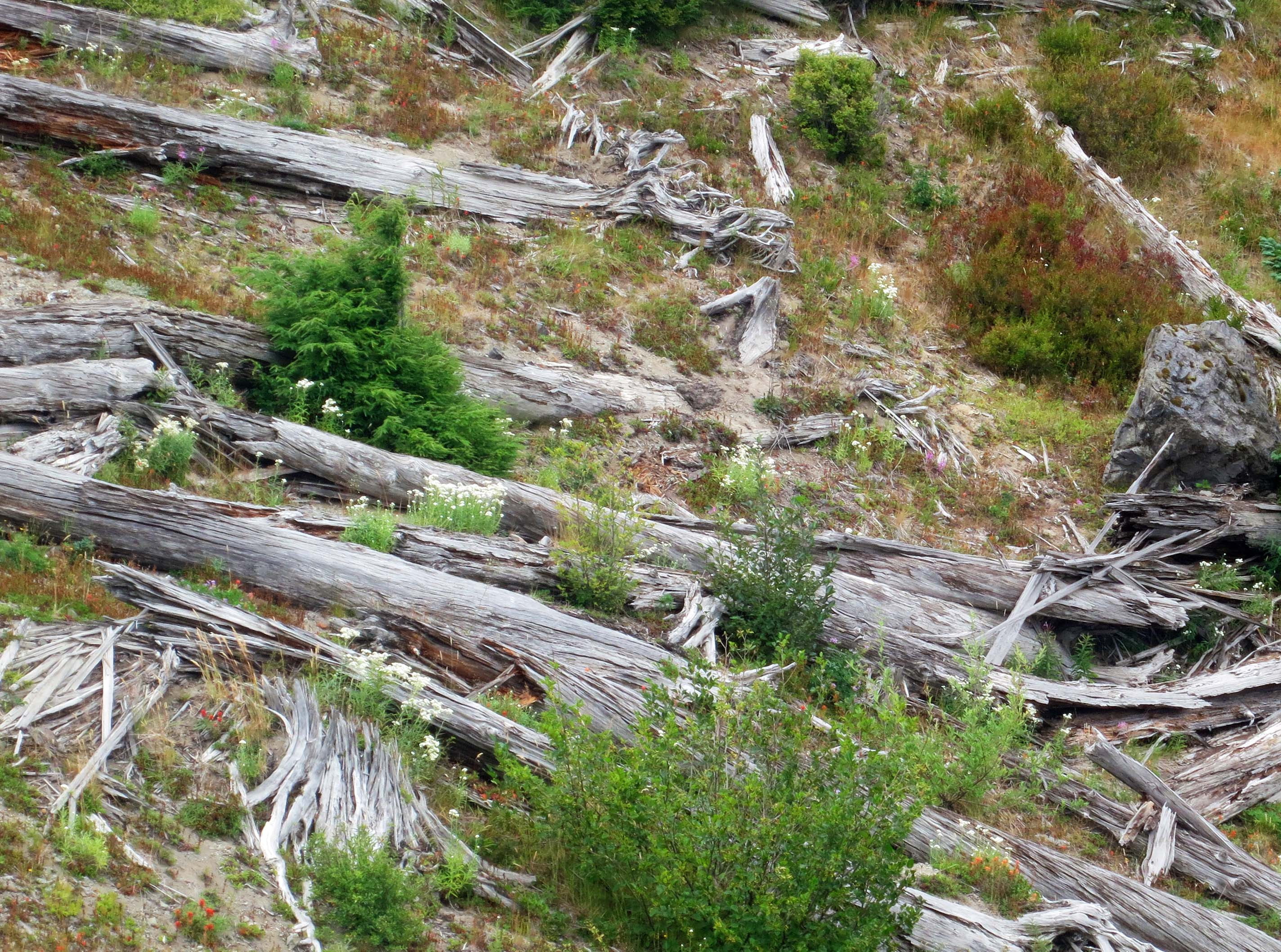 Thousands of trees were literally blown down by the eruption. Many can still be seen today.