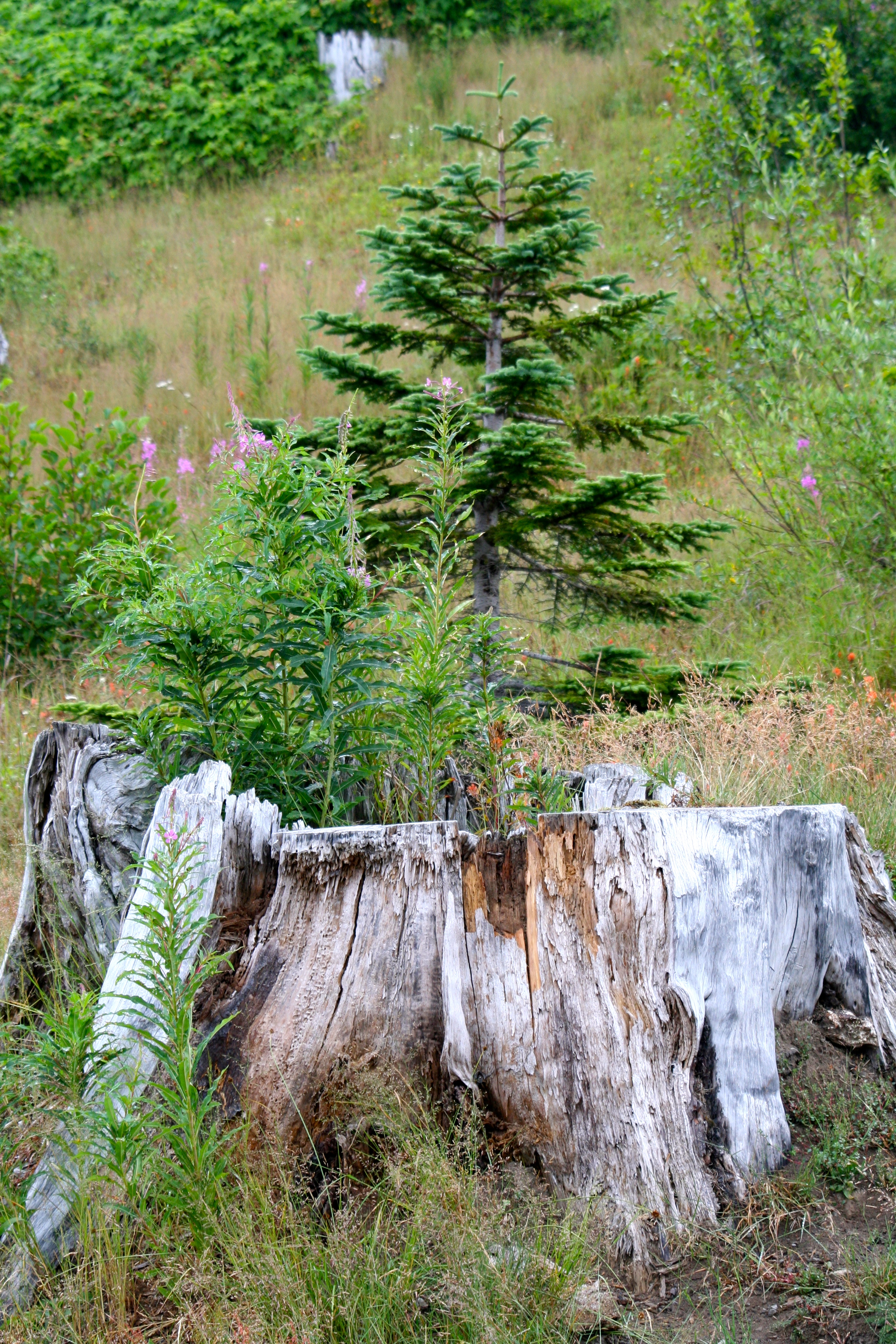 I felt the young tree growing out of a stump at Mt. St. Helens provided the best example of nature on the rebound. (Photo by Peggy Mekemson.)