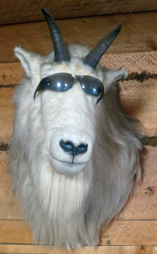 One fun thing about roadhouses is that they have different personalities. This mountain goat with sunglasses greeted us a King Mountain Lodge on the Glenallen Highway in Alaska.