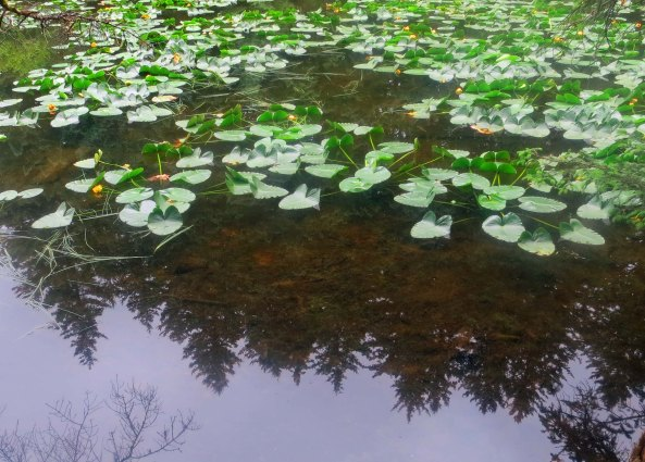 Yellow pond lilies in Kodiak, Alaska.