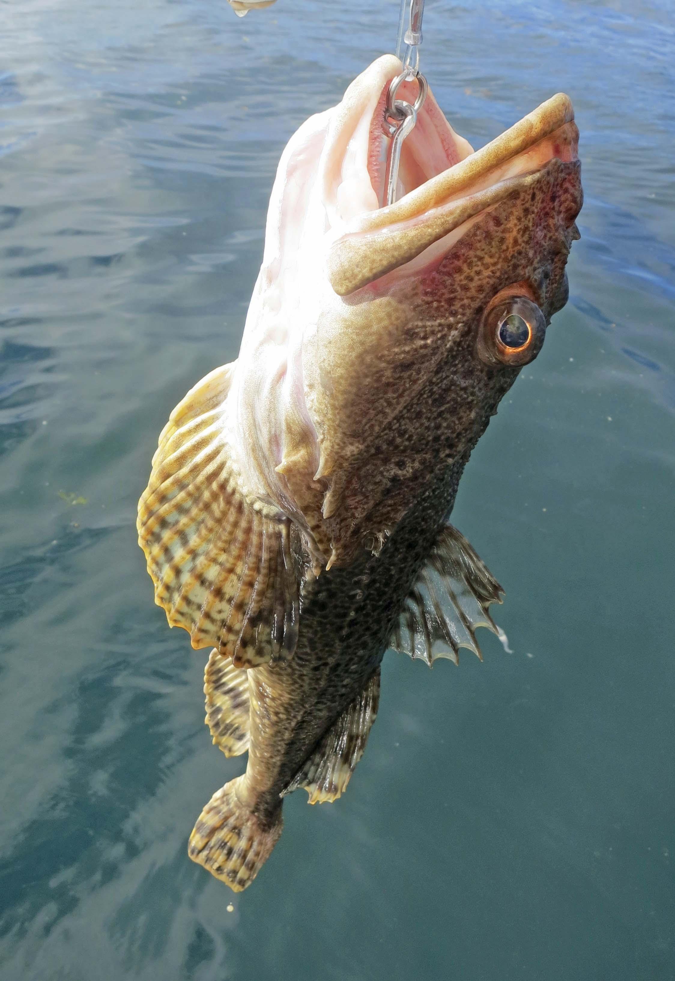 Rockfish caught by Cammie Lumpkin off Kodiak Island.